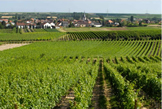 Pechstein vineyard in Forst